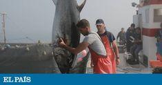 El arte milenario de la pesca de la almadraba mantiene a este pescado en las mejores condiciones