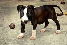 Pitbull information and facts you should know!