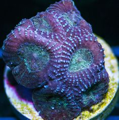 My Reef to Yours - Live Coral Frags Coral Frags, Live Coral