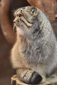 Ten Great Cat Breeds for Kids Small Wild Cats, Big Cats, Cool Cats, Cats And Kittens, Beautiful Cats, Animals Beautiful, Felis Manul, Wild Cat Species, Pallas's Cat