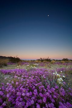Flowers and Moon,  Joshua Tree National Park, California