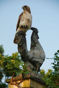 Redtail Hawk on the Chanticleer rooster