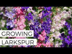 Cut Flower Garden, Flower Farm, Flower Gardening, Planting Flowers, Larkspur Plant, Larkspur Flower, Growing Zinnias From Seed, Growing Flowers, Bonsai Seeds