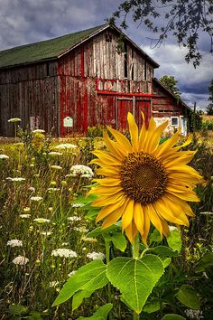 Old Barn beautiful by Meadow Flowers and cheerful Sunflower. Country Barns, Country Life, Country Living, Country Roads, Country Charm, Country Farmhouse, Southern Living, Cenas Do Interior, Meadow Flowers