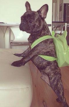 'Back to School!'  French Bulldog, via Instagram, photo by @pierrebrando via ink361.com