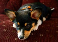 Meet our 9 week old Pembroke Welsh Corgi puppy. His name is Simon, and he is the sweetest thing. He loves laying on the couch with us, and is our little shadow everywhere. Cardigan Welsh Corgi Puppies, Pembroke Welsh Corgi Puppies, Corgi Mix, Corgi Pups, Munchkin Kitten, Short Dog, Corgi Pictures, Corgi Funny, Dog Lady
