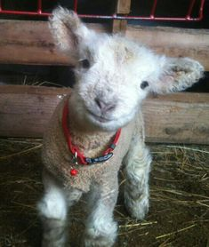 "Babydoll sheep - ""The smiling fuzzy faced sheep."" Love this sheep! Cute Baby Animals, Farm Animals, Animals And Pets, Funny Animals, Nature Animals, Wild Animals, Babydoll Sheep, Cute Goats, Baby Lamb"