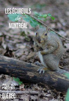 Les écureuils de Montréal, vous en verrez plus d'un ! ;)