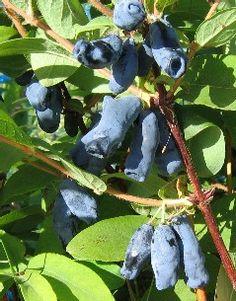 Lonicera kam. 'Amfora', bärtry. Blåa ätliga bär, påminner om blåbär. Rikgivande sort med stora amforaliknande bär med bra hållbarhet. Kanske lite tunnare smak, men gör sig bra i blandning. Bra växtsätt, både hög och vid. 1,5 m hög.
