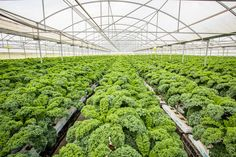 A nutritional powerhouse our Kale varieties are leafy, versatile vegetables that provides an excellent source of fibre and contains vitamins A, C and K. Sources Of Fiber, Kale, Nutrition, Australia, Fresh, Vegetables, Collard Greens, Vegetable Recipes, Veggie Food