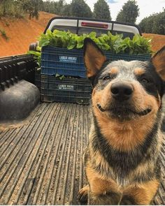 Animals And Pets, Funny Animals, Cute Animals, Cow Girl, Foto Cowgirl, Austrailian Cattle Dog, Dog Rules, Cute Animal Pictures, Working Dogs