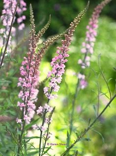 Linaria purpurea / Toadflax Perennial. Sow March-June and/ or August-September. Site: Full sun and moderately fertile, well drained soil. Height: 75cm (30in) Spacing: Plant 50cm (20in) apart. Hardiness: Fully hardy. Care tips: Remove flowering heads if you don't want them to self-seed. Divide clumps in spring. Flowers: ❀ Early summer through autumn, first year from sowing. This is a cut-and-come-again variety. For the vase: Sear stem ends for 15 seconds and they will last a week in water.