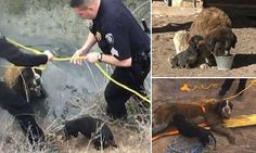 Dachshund helps save big best friend after she gets stuck in a ditch  http://www.dailymail.co.uk/news/article-2964795/Hero-dachshund-helps-save-St-Bernard-best-friend-runs-away-gets-stuck-muddy-ditch-18-hours.html