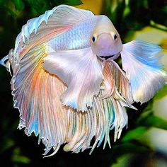 "Fish on Instagram: ""Look at those fins! 😍 Have you ever seen a Betta so eye catching?⁣ . 💧Share this with a friend who would love it!⁣ ⁣. 📸 Credit unknown. Do…"""