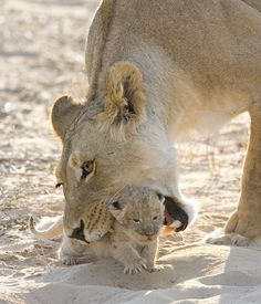 Africa | 'Resistance is futile' Lion cub trying to escape from it's Mum. Kalahari National Park, South Africa | ©Mark Warrillow-Thomson