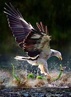 OK nature photographers, this is truly a once in a lifetime shot! Eagle attacking a Snake. of Prey The Eagles, Wildlife Photography, Animal Photography, Amazing Photography, Travel Photography, Beautiful Birds, Animals Beautiful, Beautiful Photos Of Nature, Amazing Photos