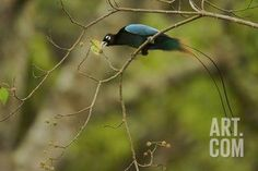 A Male Blue Bird of Paradise Foraging Photographic Print by Tim Laman at Art.com