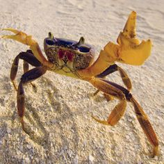 Here's a close-up of a fierce sand crab. Crabs have 10 legs, and in some species, the front two are modified to form large, pincherlike claws.