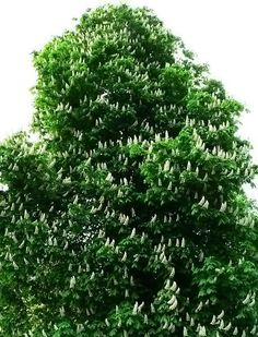 This photo from the TrekNature travel gallery is titled 'Horse Chestnut Tree Photo'. Chestnut Horse, Ornamental Plants, Photo Tree, Trees To Plant, Beautiful Gardens, Boho Decor, Planting Flowers, Herbs, Gardening