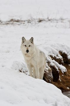 this-is-wild:  (via 500px / Gray wolf (Canis lupes) by D. Robert Franz)