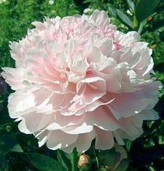 Paeonia lactiflora Shirley Temple - Pivoine de Chine - Pépinière, plantes, jardinerie, vente en ligne