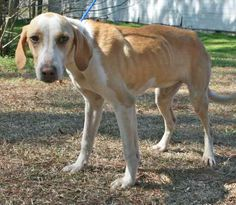 Lenny is a 2 to 3 year old male hound cross, about 25 pounds and much too thin. He has either been neglected or on his own for a while. He is very friendly if a little submissive, he ducked his head and tucked his tail a couple of times when I...