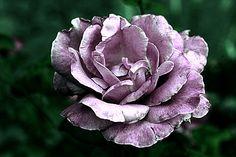 Flower of Death by ~MaryQueenWolf on deviantART
