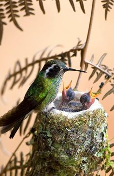 Hummer at the nest with chicks.