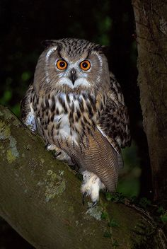 Fotografia Eagle Owl at Dusk de Ronald Coulter na 500px
