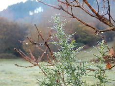 Frosted gorse. Winter walks, Cornwall