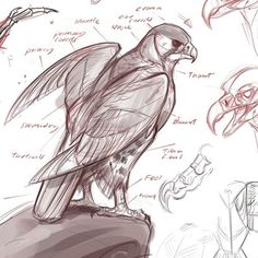 By Jonathan Kuo, bird reference Drawing Reference Poses, Drawing Poses, Drawing Sketches, Art Reference, Bird Drawings, Animal Drawings, Art And Illustration, Nature Sketch, Drawn Art