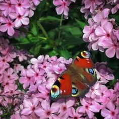Peacock Butterfly on Phlox -Macro - Pixdaus