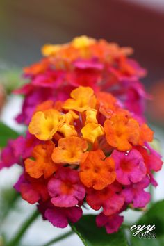 Lantana [Verbenaceae] Lantana Camara 马缨丹 by cyy 4993 Lantana Flower, Zinnias, Perennial Flowering Plants, Sun Plants, Flowers Nature, Tropical Flowers, Flower Farm, Flower Pots, Amazing Flowers