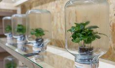Pikaplant Jars mimic Mother Nature, making a beautiful, self-watering plant display.