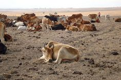 FROM DROUGHT TO DESTINY: 'Drought hits Kenya's livestock herders hard', ILRI News Blog, 5 Oct 2009
