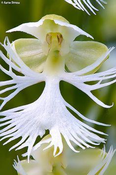 Eastern Prairie Fringed-orchid: Platanthera leucophaea -   Flickr - Photo Sharing!