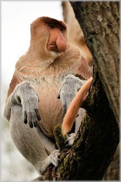 proboscis monkey, monkey, rare, apenheul, holland