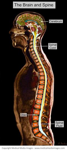 Whole Body Color MRI with annotations of some of the most important anatomical structures. A novel, advanced visual tool to see and understand Anatomy, Disease, and Surgery created by Medical Media Images. Created by Medical Media Images. Ideal for Websites and Publications. http://www.medicalmediaimages.com/annotated-color-mri-brain-and-spine-anatomy/588