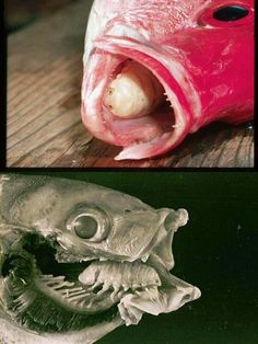 MFS-Strange but TRUE The Cymothoa exigua or the Tongue eating louse is a parasitic crustacean of the family Cymothoidae(Isopods). It tends to be 3 to 4 cm long. This parasite enters through the gills, and then attaches itself at the base of the spotted rose snapper's (Lutjanus guttatus) tongue.