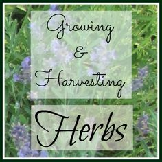 Growing and Harvesting Herbs