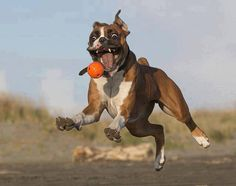 A ball-chasing boxer is a happy boxer.