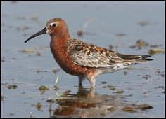 The Curlew Sandpiper (Calidris ferruginea) is a small wader that breeds on the tundra of Arctic Siberia. It is strongly migratory, wintering mainly in Africa, but also in south and southeast Asia and in Australasia. It is a vagrant to North America.