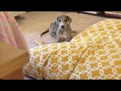 Great Dane Puppy Digging New Bed
