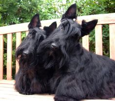Scottie Head Tilt