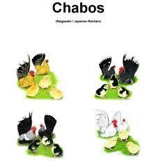 Resultado de imagem para chabo nagasaki galinha