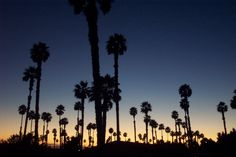 Palm Trees in Ventura