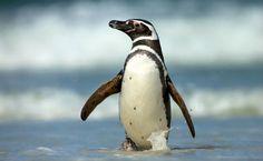 Le Chili rejette le projet minier pour protéger les pingouins de Humboldt