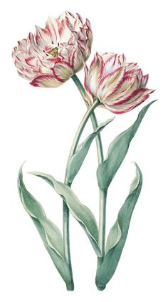 An early 18th century drawing of tulip 'Prins Frederick', attributed to August Sievert