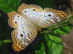 Butterfly: White Peacock