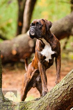 If only i had wanted to raise boxers this would be a pretty boy for my jenny! more about boxer dog cute Dog Pitbull, Boxer Puppies, Dogs And Puppies, Doggies, Brindle Boxer Dogs, Bullmastiff, Boxer And Baby, Boxer Love, I Love Dogs